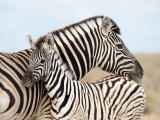 Burchell's Zebra  with Foal  Etosha National Park  Namibia  Africa