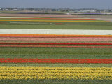 Fields of Flowers Growing Near Keukenhof Gardens  Near Leiden  Netherlands  Europe