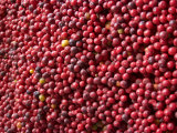 Ripe Coffee Beans  Recuca Coffee Plantation  Near Armenia  Colombia  South America