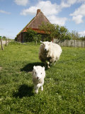 Marsk Lambs at a Farm in Dalen  Jutland  Denmark  Scandinavia  Europe