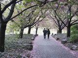 Spring Cherry Blossom  Brooklyn Botanical Garden  Brooklyn