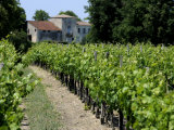 Vineyard in the Bordeaux Region  Gironde  Aquitaine  France