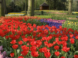 Flowers at Keukenhof Gardens  Near Leiden  Netherlands  Europe