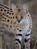 Serval  Masai Mara National Reserve  Kenya  East Africa  Africa