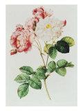 Rosa Damascena Celsiana or Damask Rose  Engraving from Les Roses  1817-24