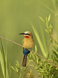White-Fronted Bee-Eater  Kruger National Park  South Africa  Africa