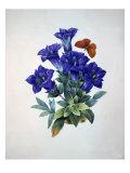 Gentiana Acaulis or Stemless Blue Gentian  from Choix des plus belles fleurs  1827-33