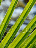 Palm Fronds  Andreas Canyon  Palm Springs  California  United States of America  North America