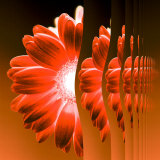 Gerbera Flower Vertical Slivers