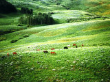 Lush Hillside with Horses in the Middle Ground  Colorado Rockies  Colorado  USA