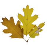 Fall Leaves on a White Background