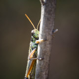 Close-Up of an Adult American Bird Grasshopper  Schistocerca Americana
