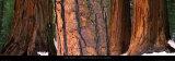 Californian Redwood Trees  California