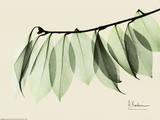 Sage Eucalyptus Leaves I Reproduction d'art par Albert Koetsier