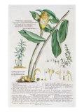 Zingiber latifolium and Amomum  1754