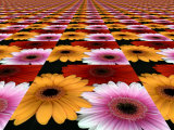 Gerbera Flowers Multiplied in Tiles