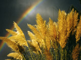 Pampas Grass and Rainbow  Sedona  Arizona  USA