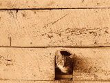 Kitten Sticking it's Head Out of Hole in the Wall