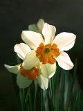 Two White and Orange Daffodils
