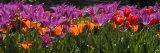Panoramic Detail of Purple and Orange Tulips