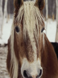 "Close View of a Horse Named ""King"" in Winter"