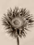 Still Life Photograph  a Gerbera Close-Up with Sepia Toning