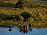 Aerial of African Elephants in the Waters of the Okavango Delta