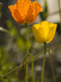 Close-up of Sunlit Poppies
