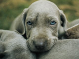 Portrait of a Weimaraner Puppy with Litter Mates