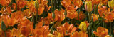 Panoramic Detail of a Bed of Tulip Flowers