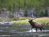 Bull Elk Wades Through the Madison River in Yellowstone