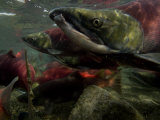 Spawning Salmon Dominate Traffic in the Ozernaya River