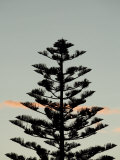 Silhouette of Norfolk Pine Tree at Sunset