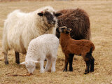 Group of Navajo-Churro Sheep on the Historic Taylor Bray Farm
