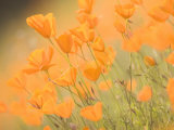 Close-up of California Poppies Growing in the Foothills in Spring