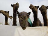 Camels are Kept Clean in Preparation for the Camel Beauty Contest