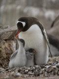 Gentoo Penguin  Pygoscelis Papua  and Chicks at Port Lockroy