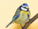Blue Tit Bird  Cyanistes Caeruleus  Perched on a Tree Limb