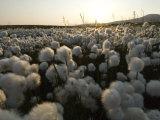 Cotton Grass  Alaska