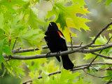 Male Red-Winged Blackbird Sitting in an Oak Tree