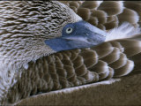 Close-up of a Blue-Footed Booby  Sula Nebouxii  Grooming Feathers
