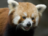 Captive Endangered Red Panda