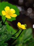 Buttercup Flowers Growing by the Side of a Stream