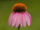 Close-up Detail of a Purple Coneflower