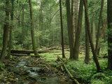 View of a Creek Running Through a Virgin Hemlock Forest