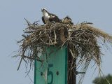 Osprey and Chick in Nest Atop a Boating Channel Marker