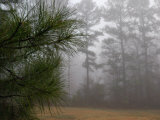 Dew-Covered Pine Branches on a Foggy Spring Morning in Georgia