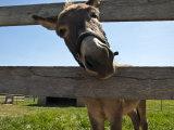 Curious Donkey Sticks His Head Through a Fence Papier Photo par Stacy Gold