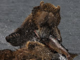 Brown Bear Catches a Salmon Fish in Kuril Lake