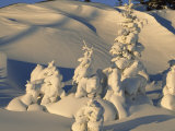 Snow Draped Evergreens as Sculptures in a Snowy Landscape
